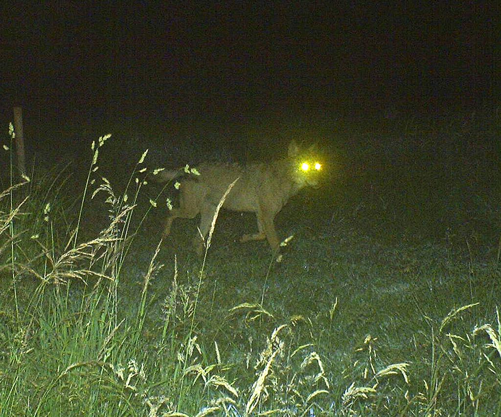 Akela, der Wolf im Hohen Venn (Nachtaufnahme: DEMNA (SPW))