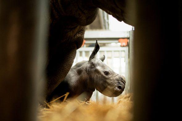 Neugeborenes Nashornbaby entzückt Pairi Daiza (Bild: Kenzo Tribouillard/AFP)