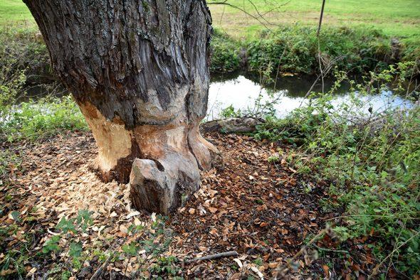 Die Spuren des Bibers an den Bäumen sind unverkennbar (Bild: Chantal Scheuren/BRF)
